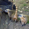 Cute Coatis