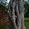 One of a few neat trees at the San Ignacio missions.