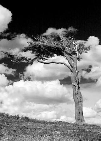 Flag tree, Tierra del Fuego, Argentina