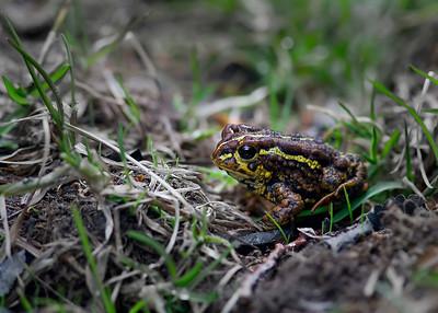 Reticulated frog, El Chalten, Argentina