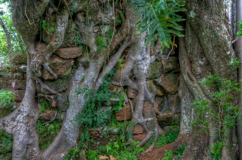 A close shot of one of the trees growing around the wall.