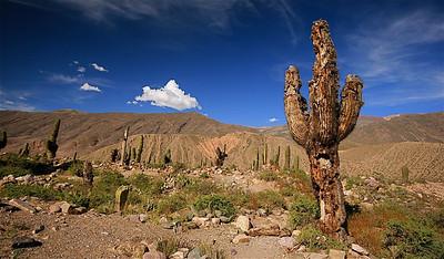 Een oude cactus. Tilcara, Quebrada de Humahuaca, Jujuy, Argentinië.