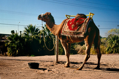 Saddle camel, Phoenix Zoo, Arizona, 1987