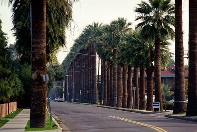 Palm trees, Phoenix Arizona, 1987.