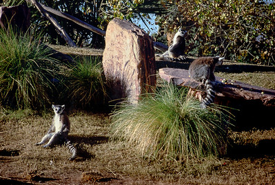 Ring-tailed lemurs, Phoenix Zoo, 1987.