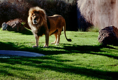 Male lion, Phoenix Zoo, Arizona, 1987.