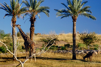 Giraffe and palm trees, Phoenix Zoo, Arizona, 1987