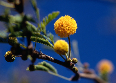 Yellow flowers. desert plant near Phoenix Arizona, 1987.