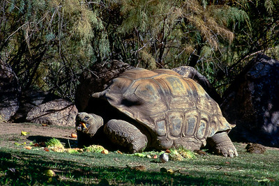 Galapagos  turtle, Phoenix Zoo, Arizona, 1987
