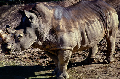 Rhinoceros, Phoenix Zoo, Arizona, 1987