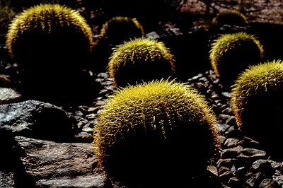 Desert cacti near Phoenix Arizona, 1987.