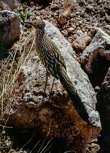 Road runner, Superstition Mountains(?) near Phoenix, Arizona - 1986-87