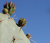 Cactus buds<br /> Arcosanti, Arizona