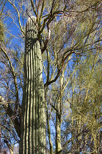 "saguaro cactus, in the shade of a ""nurse"" plant"