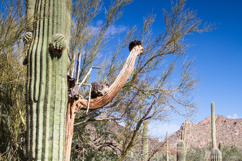 saguaro cactus, branch wearing a hat!