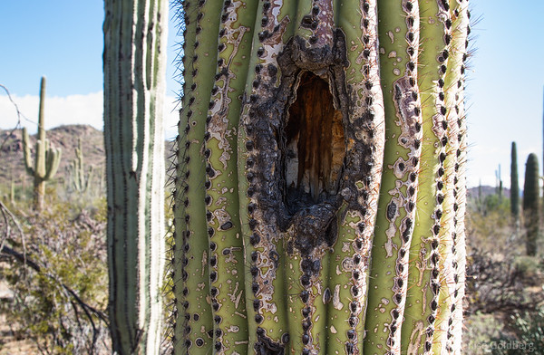 saguaro cactus, a woodpecker's hole?