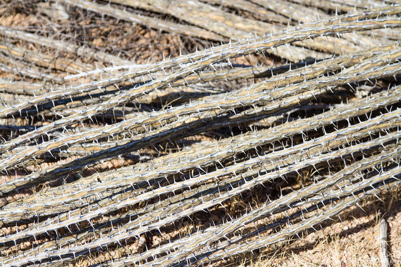 cactus spines, dried