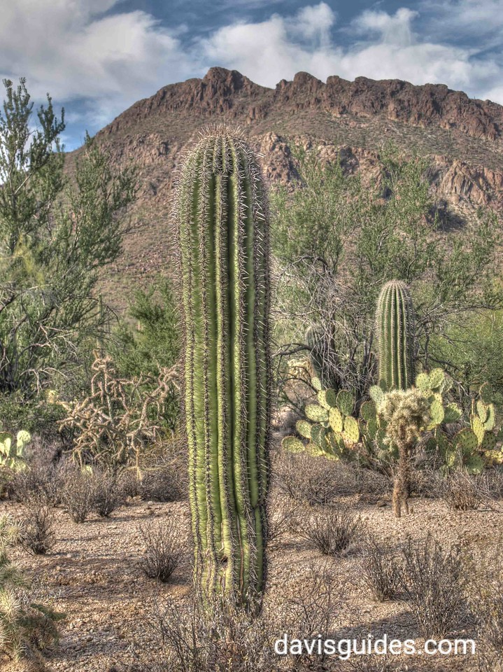Saguaro cactus in Tucson Mountain Park