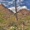 Saguaro cactus in Tucson Mountain Park
