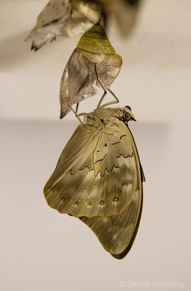 emergence, a butterfly from a chrysalis