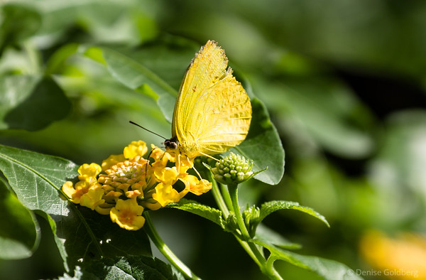 butterfly in yellow, attracted by a yellow flower