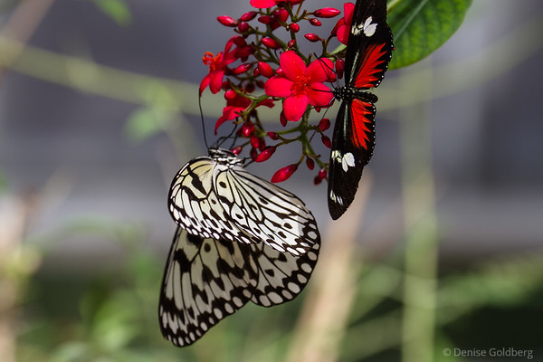 butterflies in red, black, and white