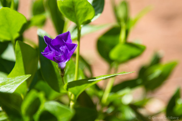 a periwinkle, folded