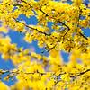 Palo verde blossoms