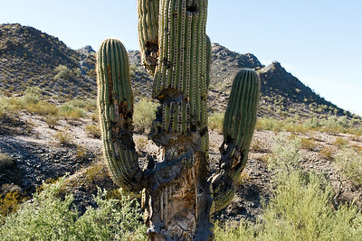 An old saguaro cactus in Piestewa Peak Park