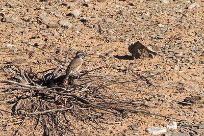 A Black-throated sparrow on desert floor in Piestewa Peak Park