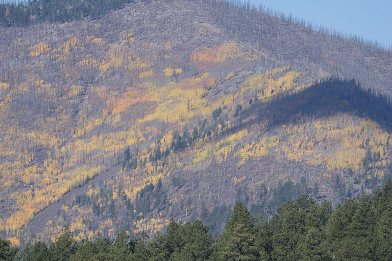 Aspen Groves, north of Flagstaff, among cut forest of fallen fir trees