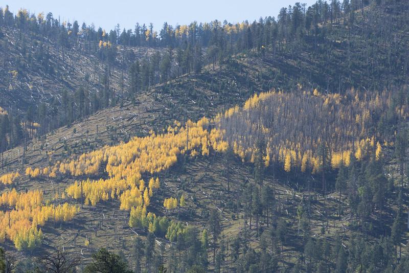 Fall fir trees, but aspen grove left untouched.