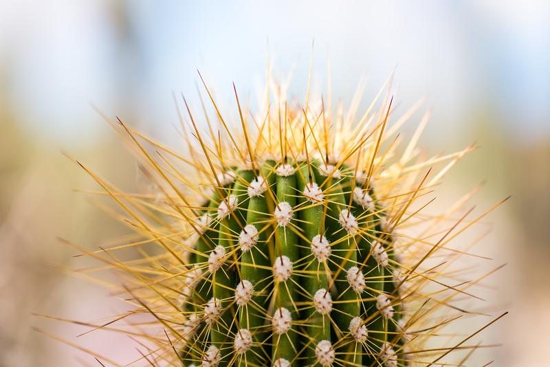Cactus at Arizona-Sonora Desert Museum, Tucson - December 2017
