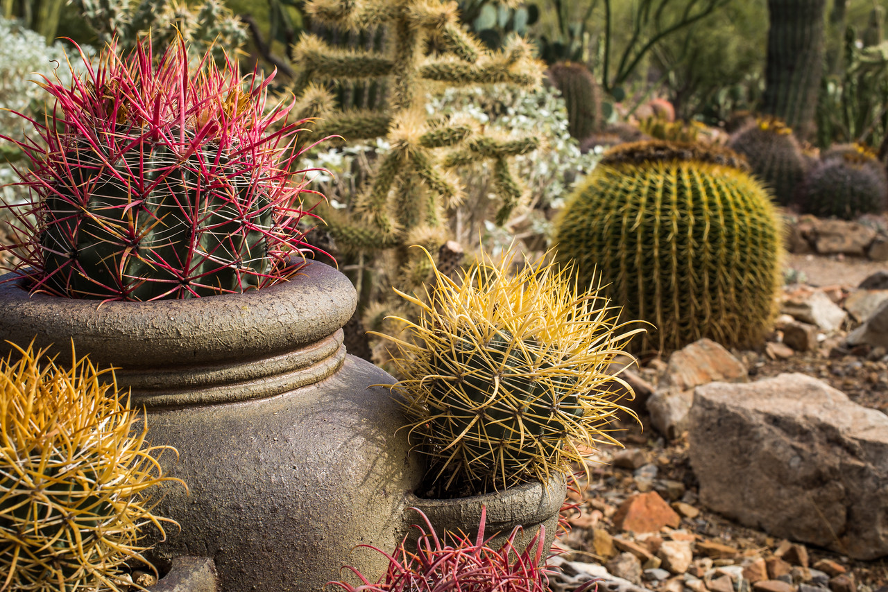 Fishhook Barrel Cacti at Arizona-Sonora Desert Museum, Tucson - December 2017