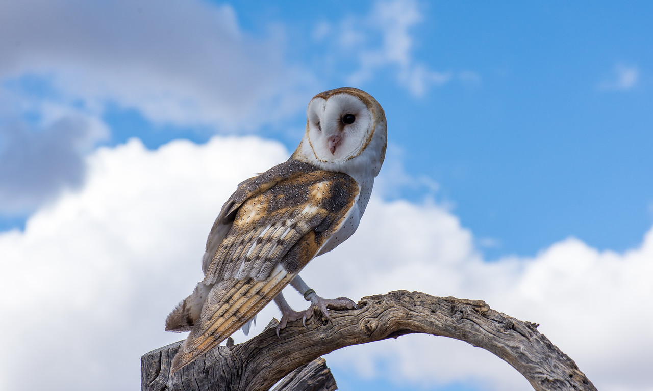 Barn Owl eyeing its next treat at Arizona-Sonora Desert Museum, Tucson - December 2017