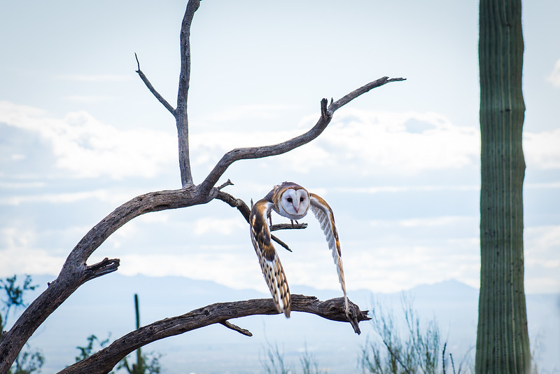 Barn Owl in-flight at Arizona-Sonora Desert Museum, Tucson - December 2017