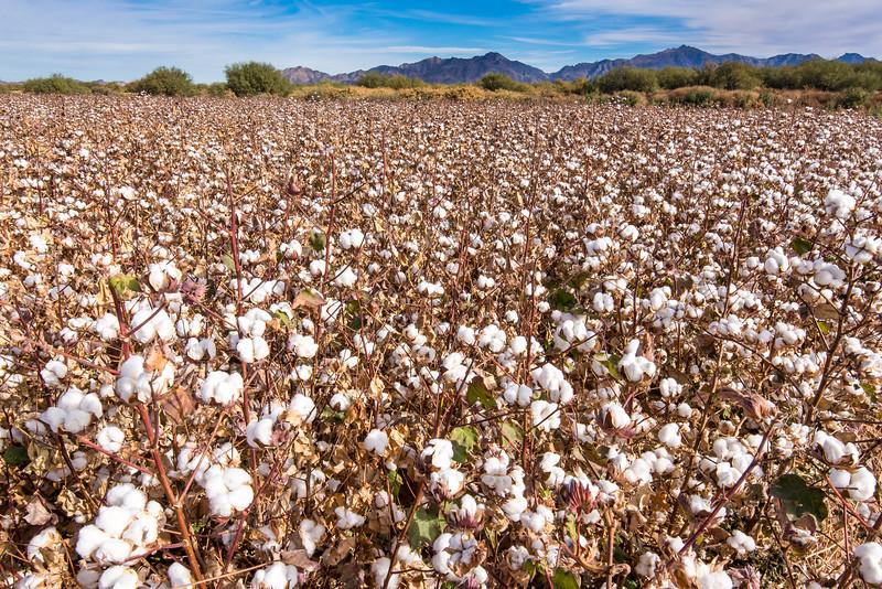 Cotton field outside of Phoenix, AZ - December 2017