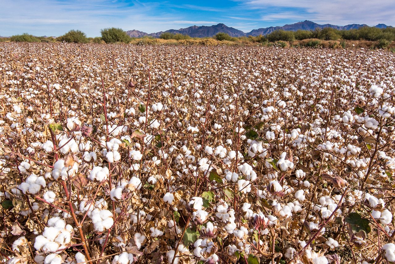 Cotton field outside of Phoenix, AZ - December 2017