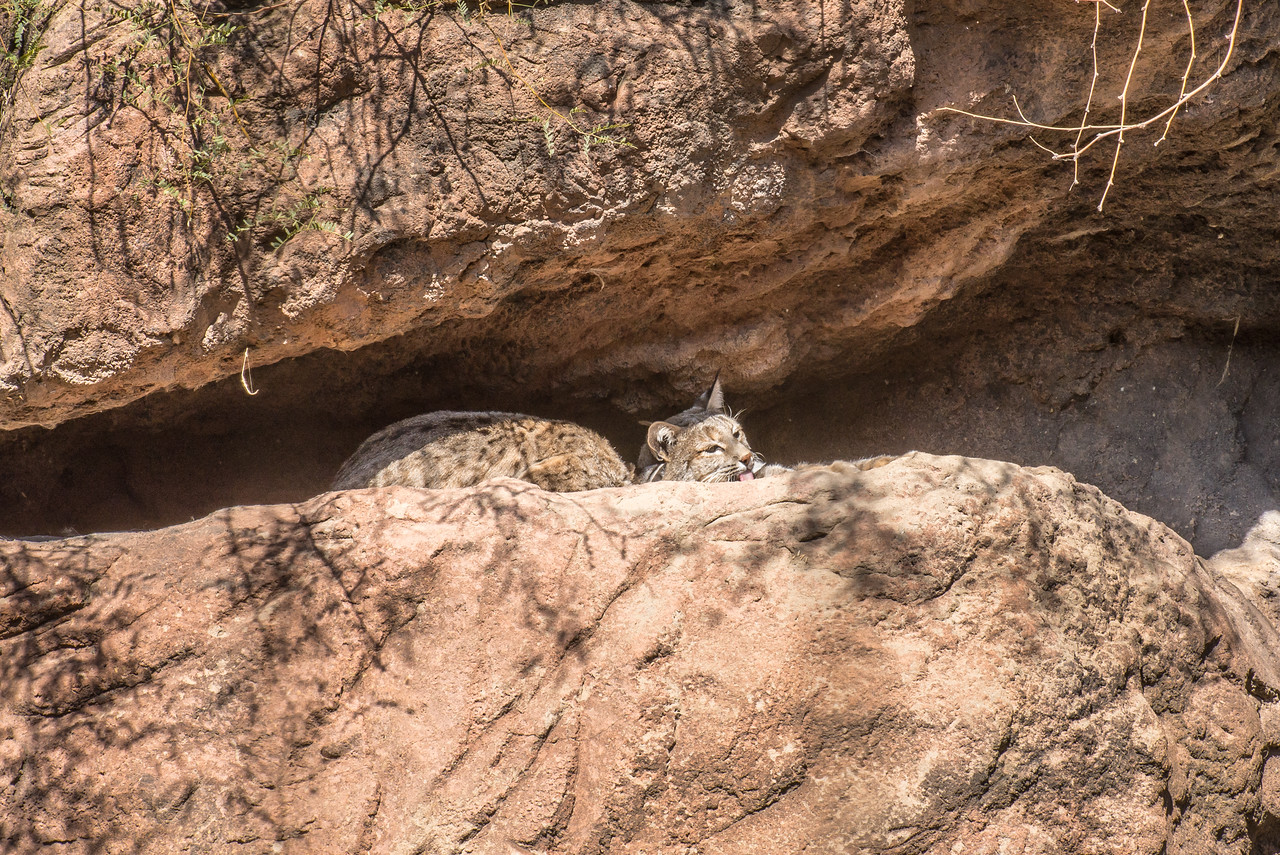 Bobcat grooming itself at Arizona-Sonora Desert Museum, Tucson - December 2017