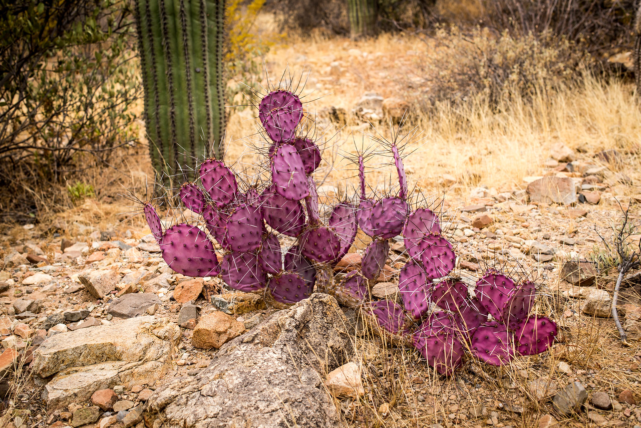 Purple Prickly-Pear at Arizona-Sonora Desert Museum, Tucson - December 2017