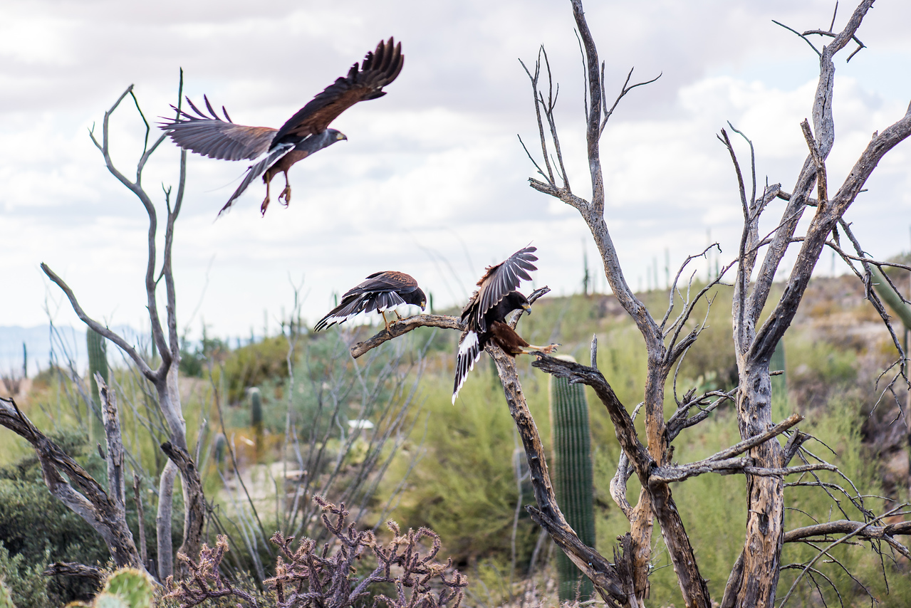 Harris's Hawks traveling in pack at Arizona-Sonora Desert Museum, Tucson - December 2017