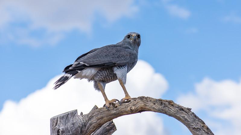 Gray Hawk eyeing its next treat at Arizona-Sonora Desert Museum, Tucson - December 2017
