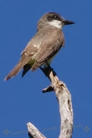 Thick-billed Flycatcher