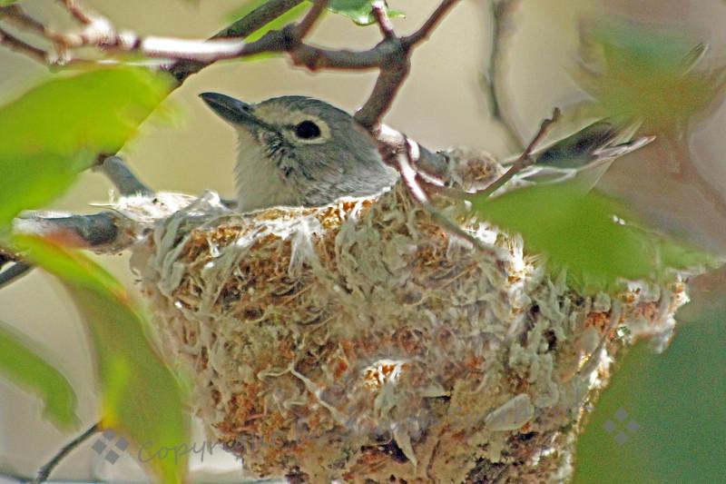 Plumbeous Vireo on Nest