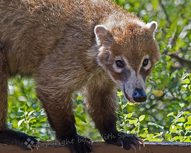 Coati On the Fence