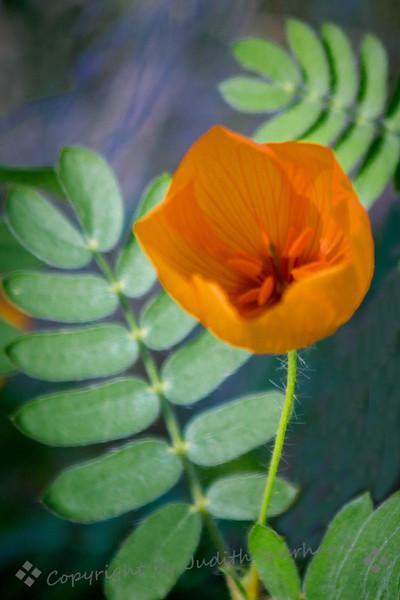 Opening Desert Poppy