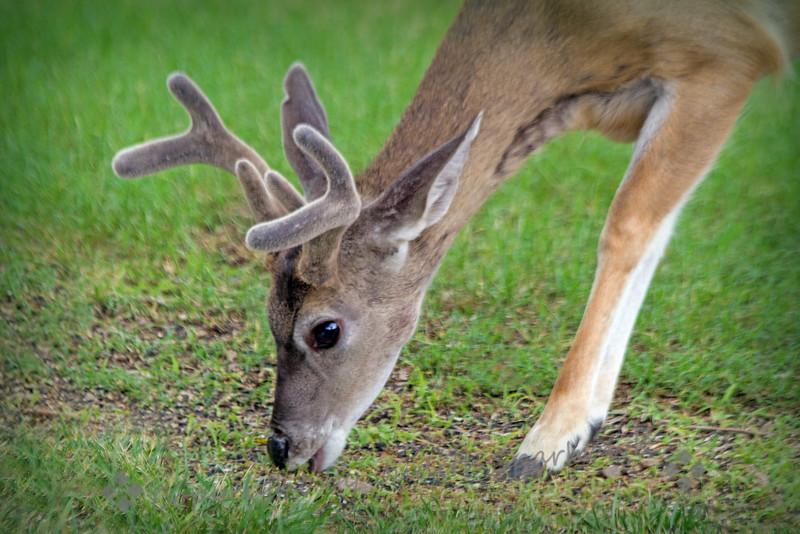 Coes Deer