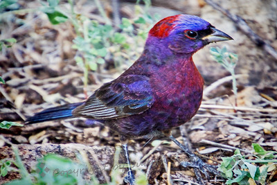Varied Bunting Male