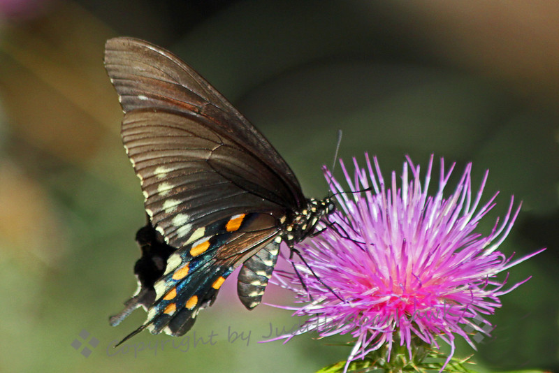Pipevine Swallowtail Butterfly ~ The butterflies were very attracted to these pink flowers,  The Pipevine Swallowtail has shiny blue on the upper sides of the wings, and this pretty pattern on the underside.