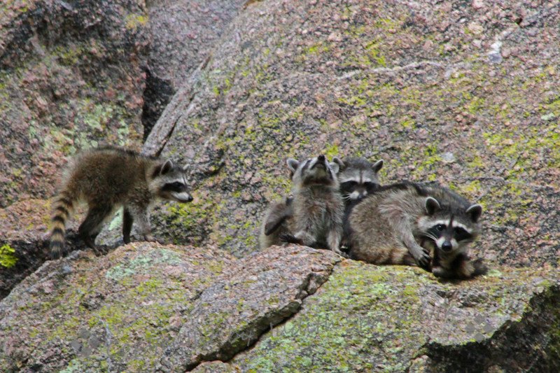 Ramsey Canyon Racoon Family